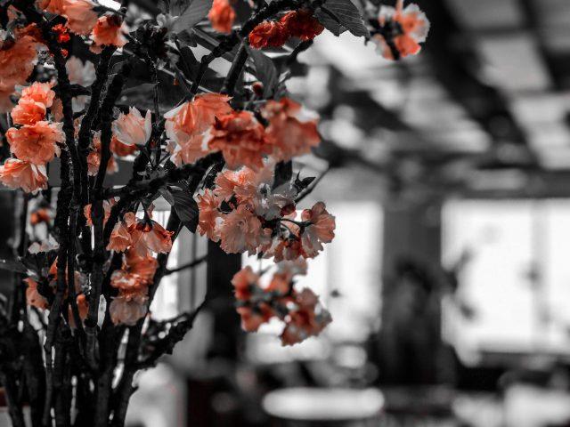 オフィスにも「Cherry Blossom」